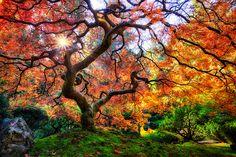 Famous Japanese Garden Tree in Portland