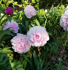 This gardener from Alberta only discovered that peonies were her favorite flowers when she began gardening at age This peony lover shows us that it's never too late to begin your gardening journey, or to find a plant that inspires you! Fine Gardening, Peonies Garden, Peony, Rose, Creative, Plants, Painting, Inspiration, Beautiful