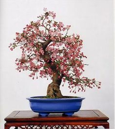 bonsai tree21
