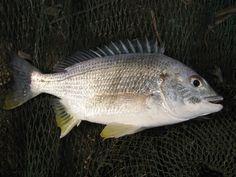 Đây là những loài cá có mặt ở khắp thế giới. Những con cá này thân chúng tương đối dẹt. Đường từ khu vực vây lưng tới phía trước của cá giảm xuống rất nhanh tạo cho mặt cá có dáng vẻ phẳng, đặc biệt khi xem mặt bên. Nhìn chung, khi mới nhìn, cá …
