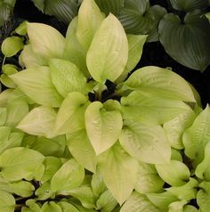 Lets Grow: New Hostas