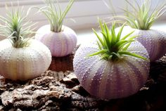 AIRPLANTS IN SHELLS