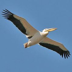 Great White Pelican in flight