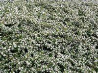 cotoneaster dammeri jeune plante en godet cotoneaster dammeri est un arbuste feuillage. Black Bedroom Furniture Sets. Home Design Ideas