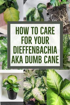 Dumb Cane Care: How to Care for Dieffenbachia Houseplants Peperomia Plant, Pothos Plant, All Plants, Indoor Plants, Indoor Gardening, Dumb Cane Plant, Lower Lights, Plant Lighting, House Plant Care