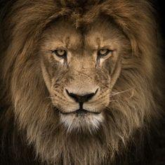 King lion  Photo by wolf ademeit  #wildlifefriend by wildlifefriend