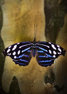 Blue Butterfly by Bradley R Youngberg