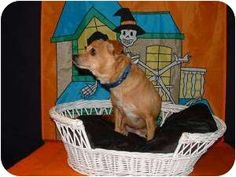 Spanaway, WA - Chihuahua/Dachshund Mix. Meet PRINCE CHARMING a Dog for Adoption.