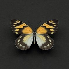 Buy Alyson Fennell (Delias Butterfly) Canvas Prints on The Art Group. Butterfly Canvas, Butterfly Effect, New Artists, Canvas Prints, Colours, Black And White, Photography, Animals, Tattoos