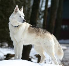 Beautiful white American Alsatian