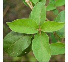 Gymnema sylvestre - Gudmar Plant, Madhunashini290