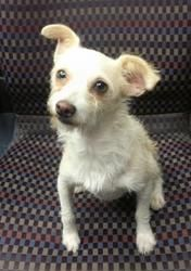 Buttercup is an adoptable Terrier Dog in Hendersonville, TN. HI there! I'm Buttercup, and I am as cute as my name! I'm a 2 year old Terrier Mix. I'm spayed, up to date on my shots and on flea treatmen...