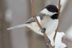 Chickadee. Reminds me of when I used to hand feed them, as a child, at the nature preserve on Long Island. good memory :)