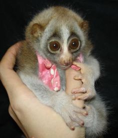 Bush Baby! How could you resist those big eyes!?