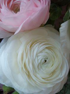 My Favorite Flower ...Renoncules
