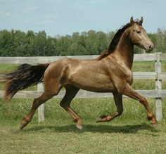 A Georgian Grande, the result of crossing a Friesian with a Saddlebred. This one is classic champagne, or black with a champagne gene (which came from the Saddlebred side). Pretty cool-looking horse, and I bet she's an awesome ride!
