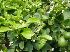 Lime fruit trees