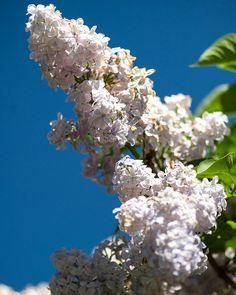 'Firmament' Lilac - Syringa vulgaris by Diacritical, via Flickr