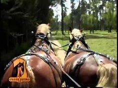 Como Entrenar Caballos de tiro con Coches- TvAgro por Juan Gonzalo Angel