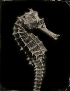 """Hippocampus #5 Platinum Print 16""""x20"""" Tintypes Chris Anthony Seas without a Shore"""