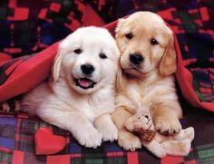 Cute Golden Retrievers :D