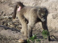 The Chacma Baboon plays a very big role in the environment..... Visit www.tenikwa.org Baboon, Plays, Environment, Fox, Animals, Games, Animales, Animaux, Animal Memes