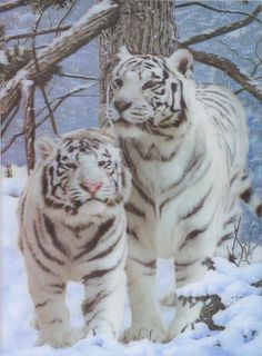 This stunning 3D picture of two white tigers would make a beautiful addition to any home. Available matted or framed....FREE SHIPPING! All our 3D pictures are made at the highest quality and come with