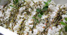 秋田 鹿角 アカシアの花