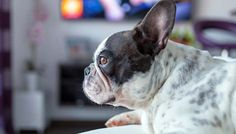 Do Dogs Actually Watch TV at Home