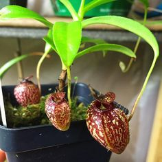 Amazing Unusual Plants To Grow In Your Garden Colorful Plants, Unusual Plants, Exotic Plants, Cool Plants, Exotic Flowers, Tropical Plants, Amazing Flowers, Orchid Plants, Cactus Plants