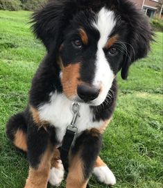 A rather judgmental looking Bernese Mountain puppy ;) via @KaufmannsPuppy