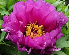 Peony Morning Lilac - Midseason Itoh Hybrid, semi-double, lavender pink flowers with a dark  center, good grower, attractive plant for in the garden, (Anderson 1999) - www.peonyshop.com