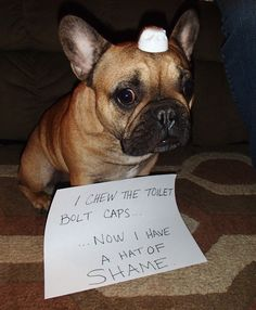 I chew the toilet bolt caps...now I have a hat of shame. - Waffles the French Bulldog