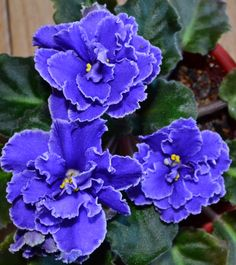 These violet flower are from the plant Blueberry Mint. The plant is standard in size. It has dark green leaves with a ruffled leaf type. The leaf underneath is red in color. The flowers are dark blue with a white edge and the flower type is a star variety. This plant was hybridized by S. Sorano.
