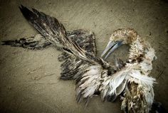 Hundreds of dead birds...on the beach. Take a nosedive and make a pretty shape