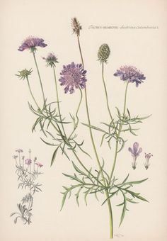 Uyuz otu - Scabiosa - Pincushion flower