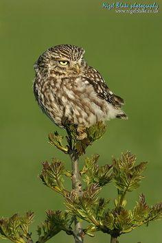 Is that you Lynn? Owl Crafts, Little Owl, Owl Bird, Baby Owls, Birds Of Prey, Stuffed Owl, Sketching, Barn, Animals