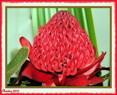 Waratah - Australian native flower.  