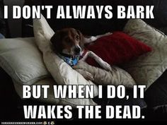 Life With Beagle: Beagles most talkative dog breed? No woofing way! Tell us what you think!