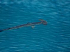 Scalloped Hammerhead Shark by Tim Melling on Flickr.