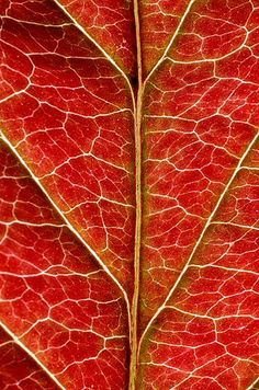 """""""Red Dogwood Leaf"""" by photographer Michael D. Weber appearing in Issue 18 on http://terrain.org/. To read the Artist's narrative and to see more of his photos check out the gallery. http://www.terrain.org/arterrain/18/gallery.htm"""