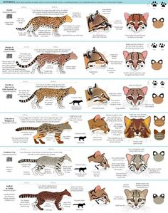 AnatoRef — Big and Small Cats Guides by Joumana Medlej All About Animals, Animals And Pets, Cute Animals, Big Cats, Cool Cats, Beautiful Cats, Animals Beautiful, Types Of Cats, Cat Behavior