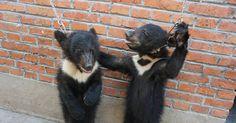 Beren, tijgers, olifanten en andere dieren worden gemarteld en mishandeld door circussen. Sluit u aan bij PETA om de wreedheid te stoppen!