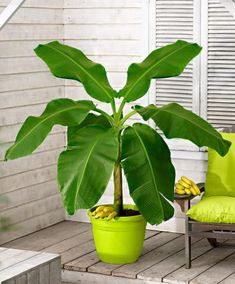 Buy patio and balcony plants Balcony Plants, Outdoor Plants, House Plants, Indoor Flowers, Bulb Flowers, Buy Plants, Green Plants, Exotic Plants, Exotic Flowers