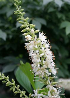 Summersweet ('Crystalina' Clethra alnifolia) This dwarf summersweet has fragrant pure white flowers in late summer. It has dark glossy foliage and holds its tight dense shape without pruning. The dark green foliage turns yellow in fall. An excellent native plant for the home landscape. 3' x 3'