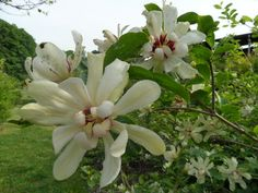"CALYCANTHUS/CAROLINA ALLSPICE/SWEET SHRUB - Benevolence (Calycanthus ""Venus"" shown)"