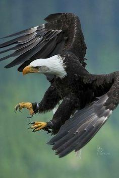 The Eagles, Bald Eagles, All Birds, Birds Of Prey, Beautiful Birds, Animals Beautiful, Beautiful Pictures, Photo Aigle, Rapace Diurne
