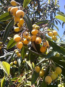 Loquats (a.k.a. Japanese or Chinese plums) are ripe, from about mid-February through March. They're sweetest when the yellow skin is a little orange. Don't eat more than a few of the seeds since, like peach pits and apple seeds, they contain amygdalin, which turns into cyanide during digestion!