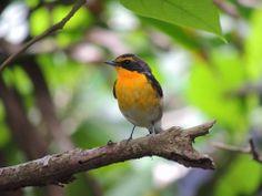 黃眉黃鶲  Narcissus Flycatcher (Ficedula narcissina) ※過境鳥, photo by 浪子雅歌
