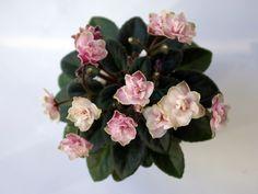 Jolly Imp | (H. Pittman) Double pink/green edge. Medium green, plain. Miniature. (TX Hyb, DAVS 1652)